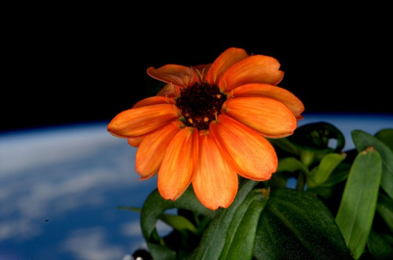 Zinnia in space